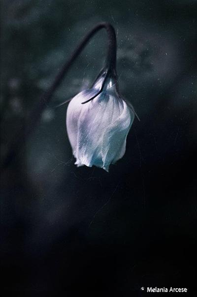 fiore di colore bianco